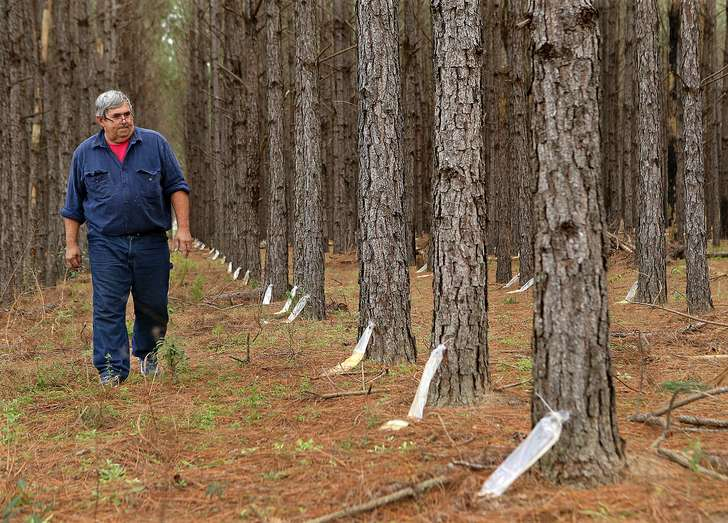 a french company recently announced plans for a first in decades turpentine factory in effingham county here in the buckle of the old georgia pine belt though an old fashioned farm rigged